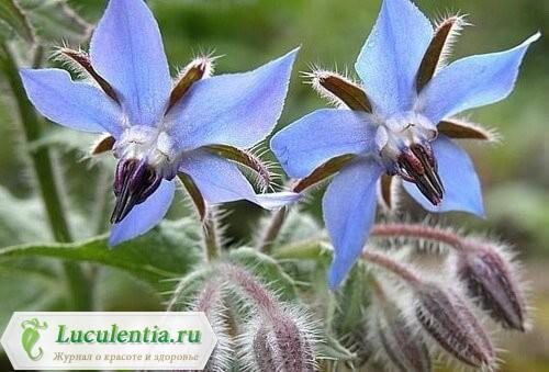 Бораго на подоконнике цветёт