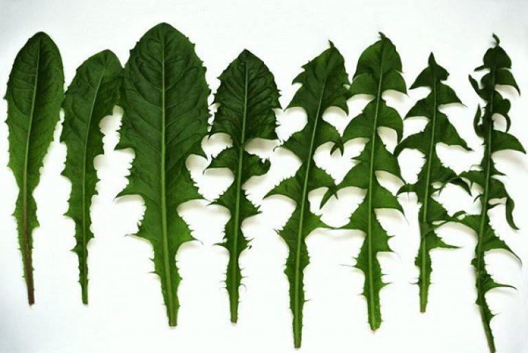 Листья одуванчиков для приготовления чая