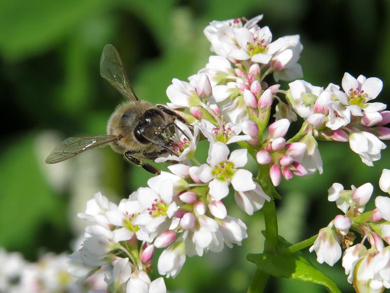 Пчела собирает нектар из гречихи посевной