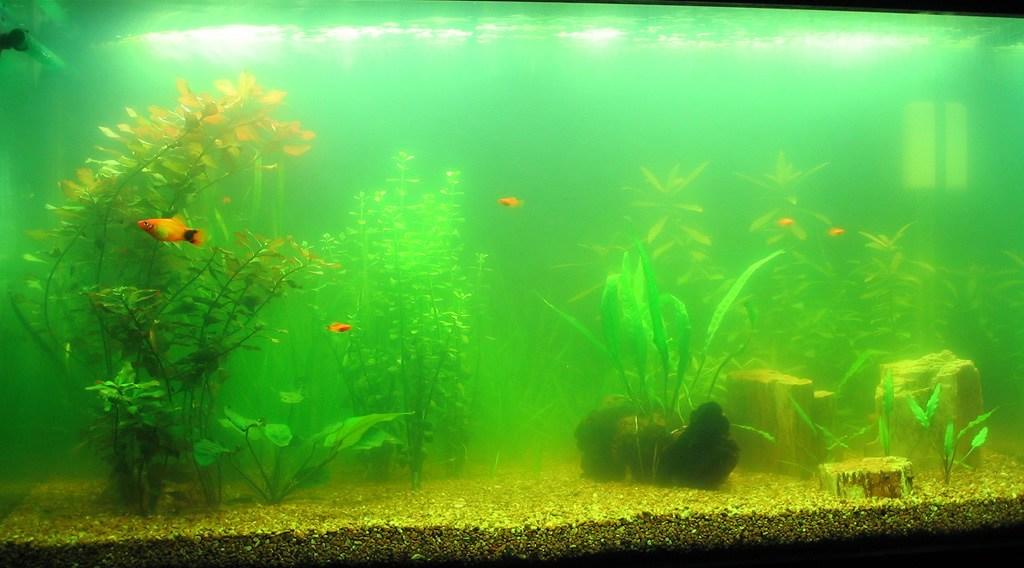 Позеленевший аквариум