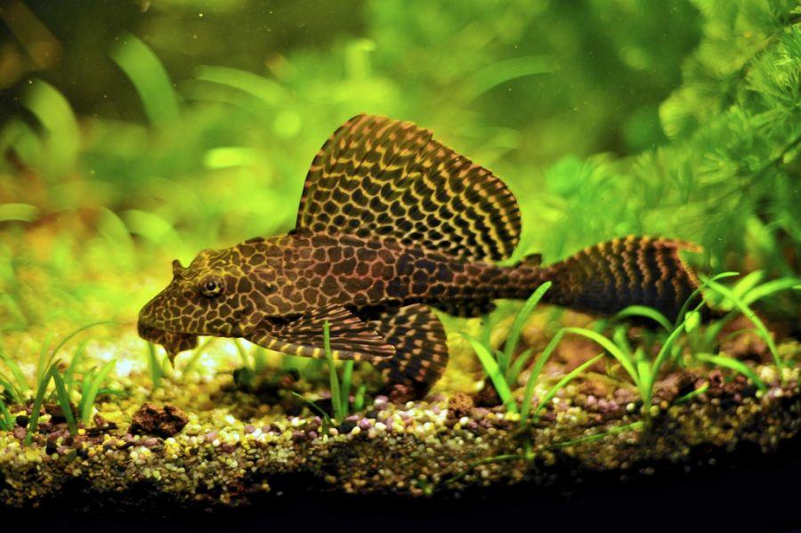 Фото: парчовый птеригоплихт чистит аквариум