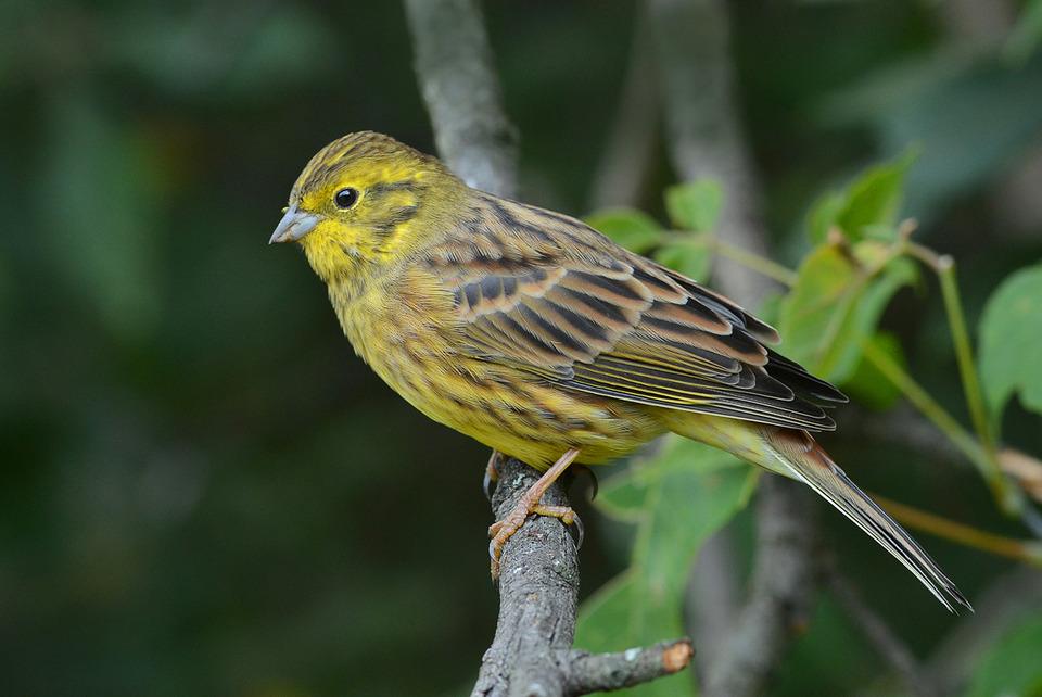 Птица Овсянка