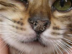 Пересохший нос у кошки
