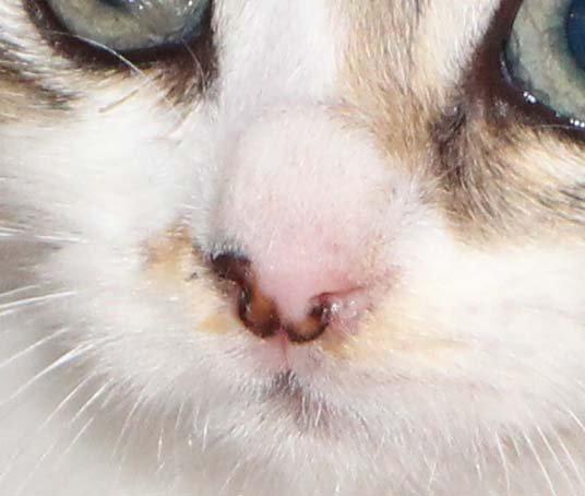 Выделения из носа у кошки