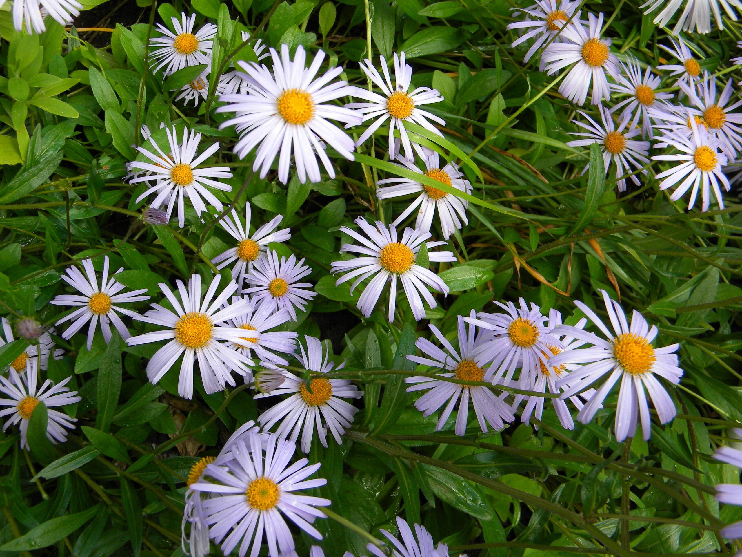 Цветки пиретрума